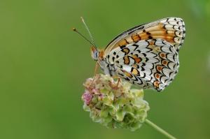 Butterfly_Knapweed_Fritillary_-_Melitaea_phoebe